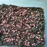 MicroVeggy Blog How to Grow Microgreens 3